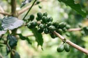 les grains de café vert