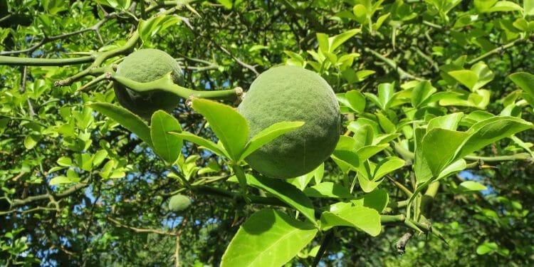 citrus trifoliata 848768 1280 750x375 1