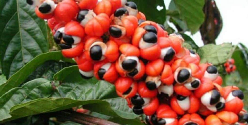 guarana paullinia cupana